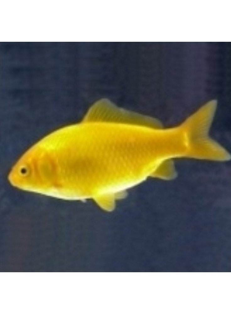Pesce giallo canarino 6 9 cm petingros live for Vaschetta pesci rossi offerte