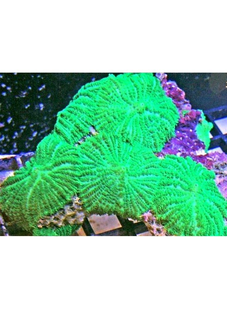 Actinodiscus Mutabilis Green