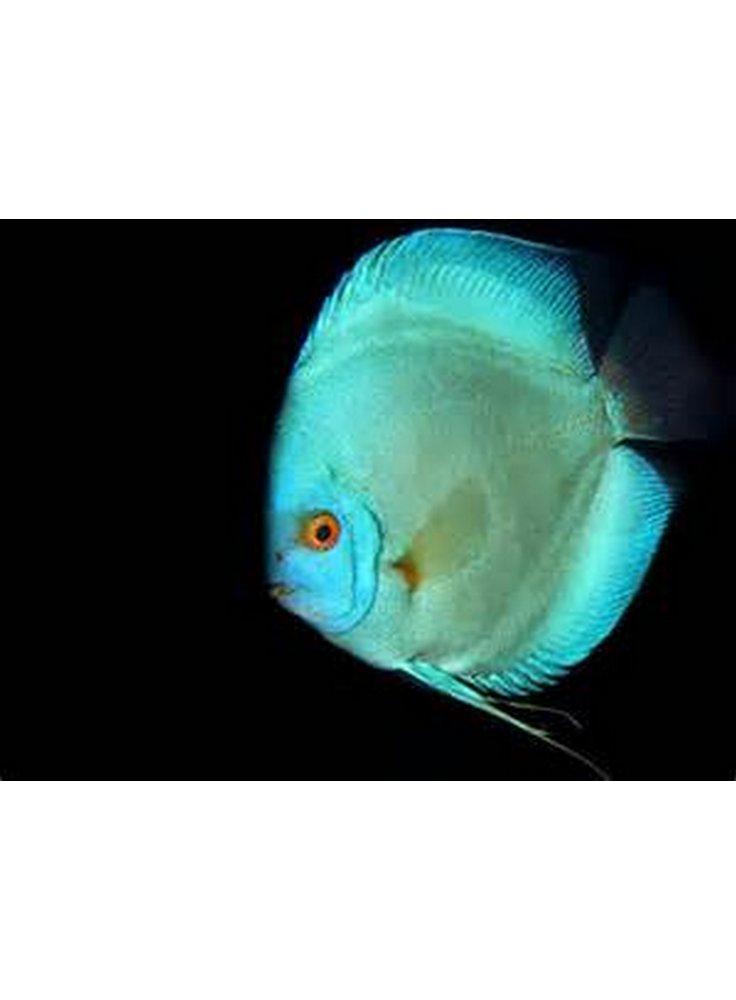 Discus blu diamond cm petingros live