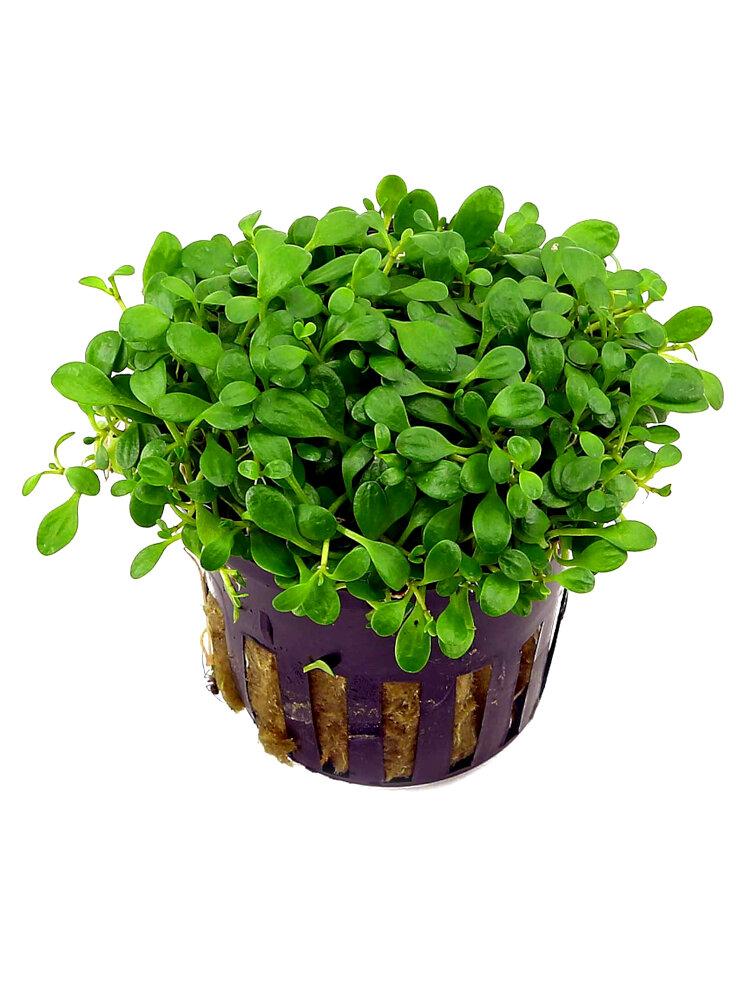 Glosostigma pratino zen acquario 3 piante