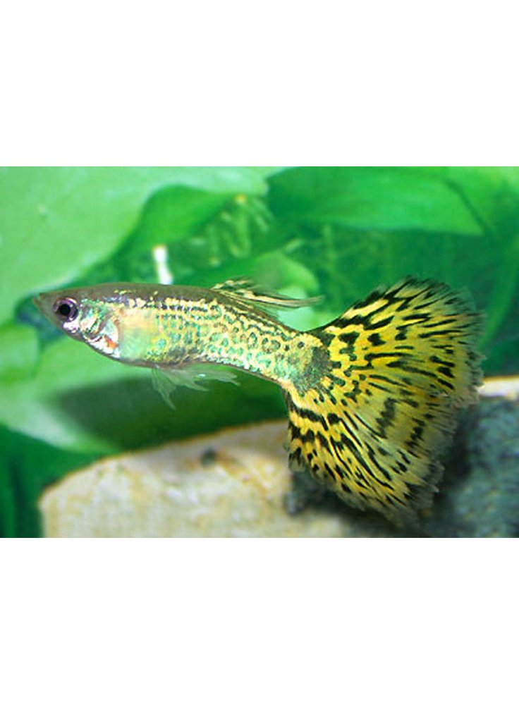 Guppy maschio king blu cobra