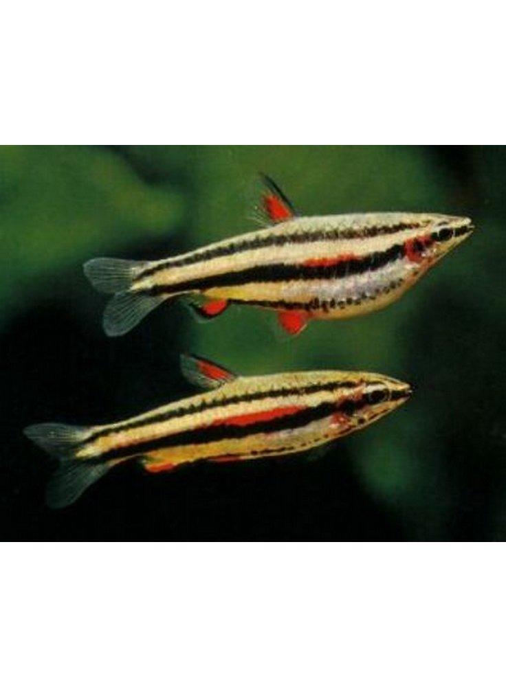 Nannostomus marginatus