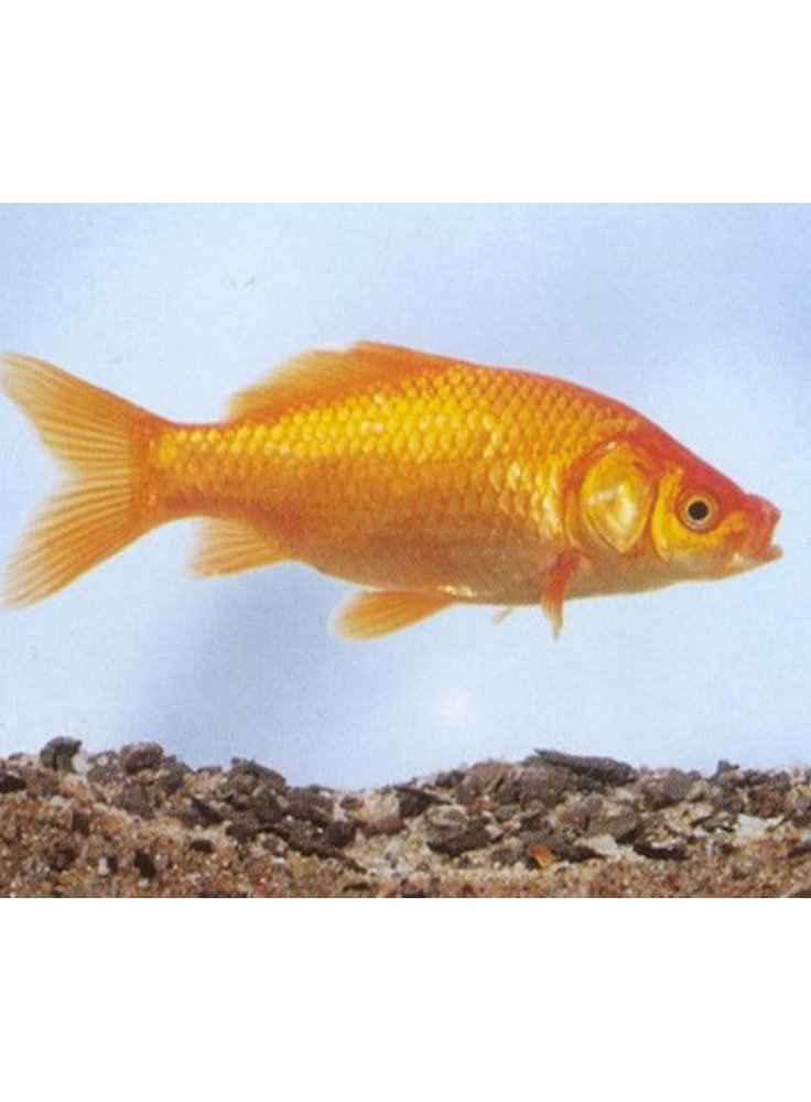 Pet ingros for Uova di pesce rosso