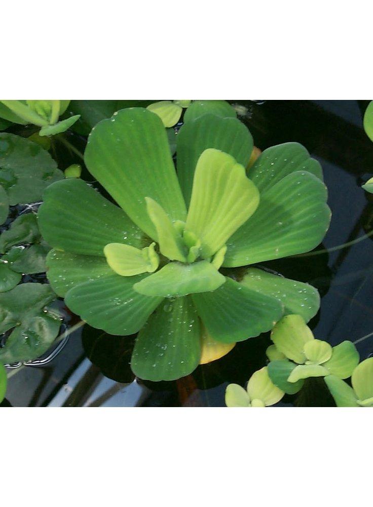 Assortimento 3 Pistia stratiotes piante laghetto