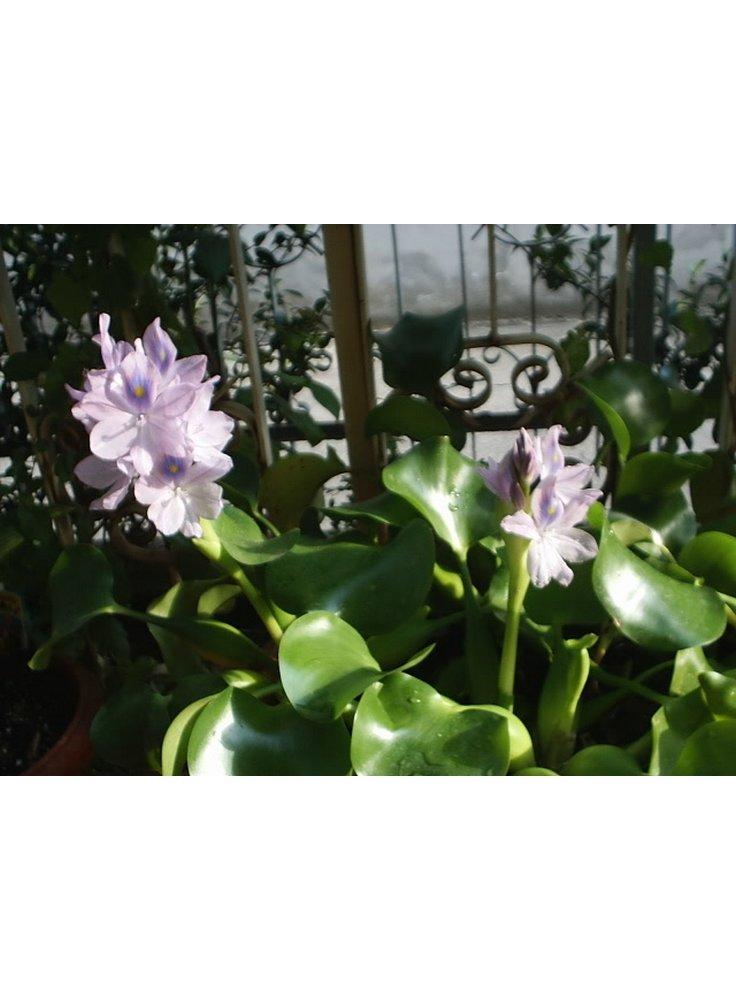 Assortimento 6 eichornia crassipes pianta galleggiante