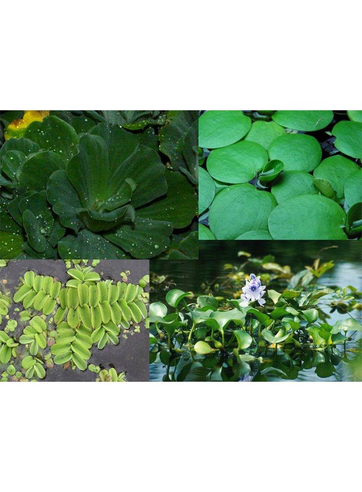 Assortimento piante da laghetto galleggianti 3pz