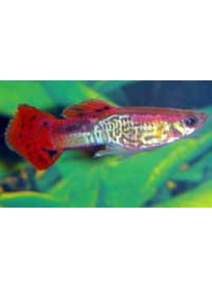 Guppy red rainbow