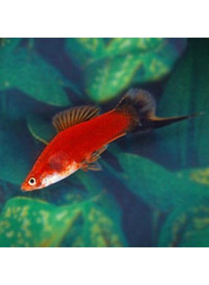 xiphophorus helleri red wag