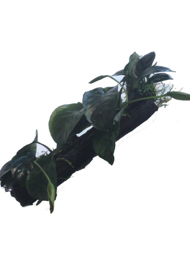 anubias-tronco-x1-1d