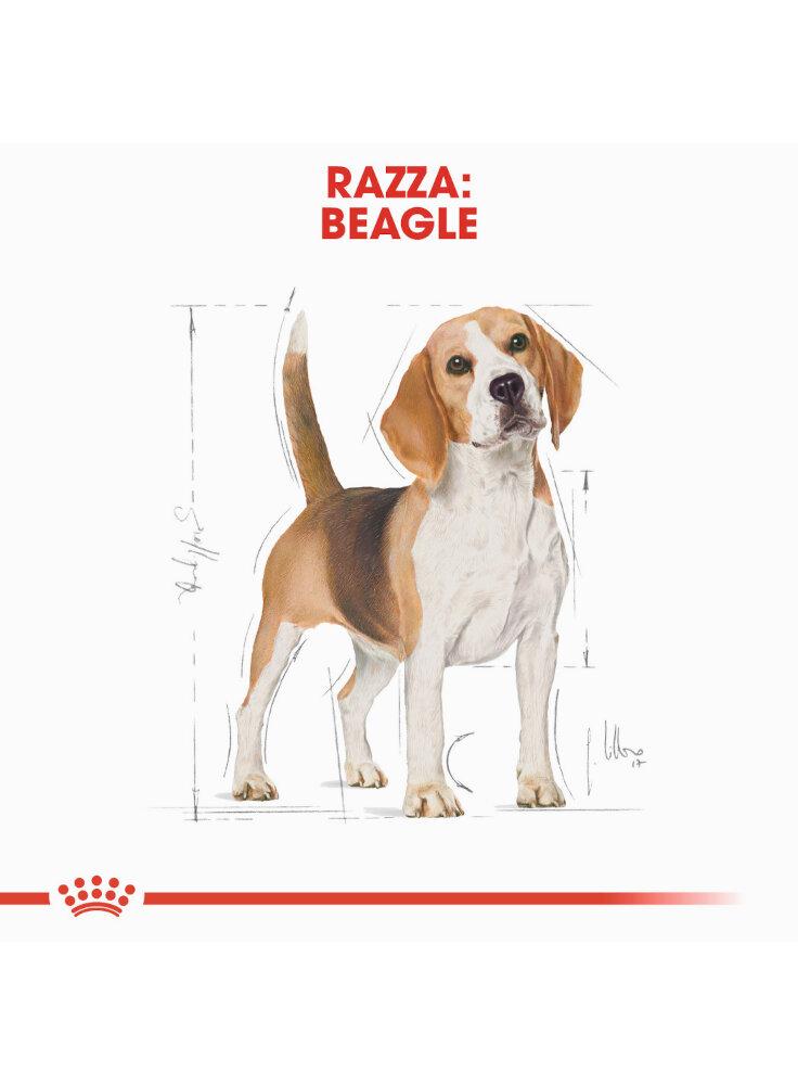 beagle-adult-royal-canin-1