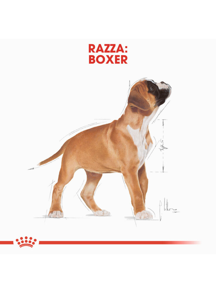 boxer-puppy-royal-canin-4
