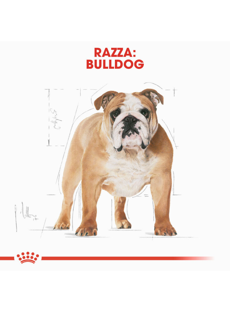 bulldog-adult-royal-canin-1