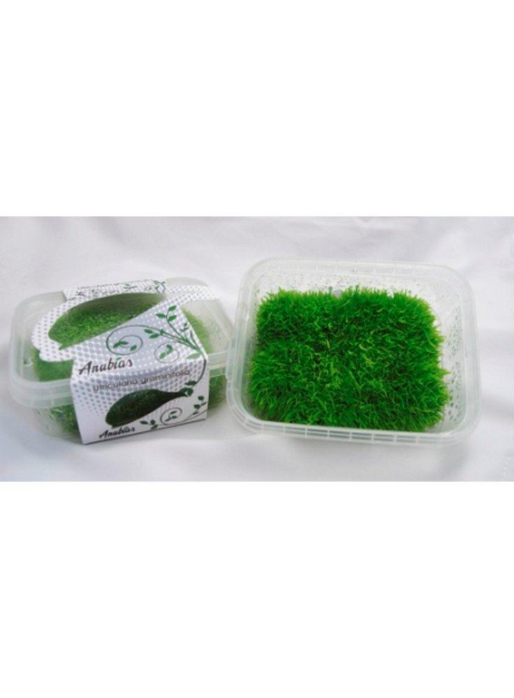 utricularia-graminifolia-carpet