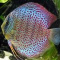 Discus Leopard Snake 8 cm