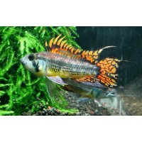 Apistogramma Cacatuoides Triple Red lg n. 1 Esemplare