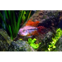 Apistogramma Cacatuoides Duble Red