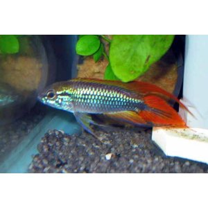 Apistogramma Agassizii Fire Red lg-xlg n. 1 Esemplare
