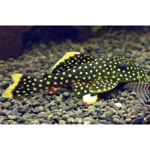 Baryancistrus Golden Nugget ml L018 n. 1 Esemplare
