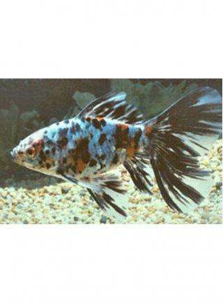 Shubunkin blu 5-7 cm n. 10 Esemplari