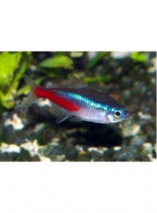 Paracheirodon innesi ml (pesce neon) 10 Esemplari