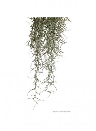 Pianta exoterra plant spanish moss medium