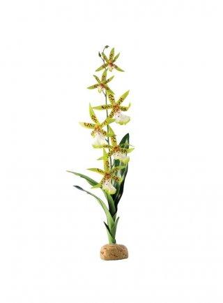 Pianta exoterra spider orchid