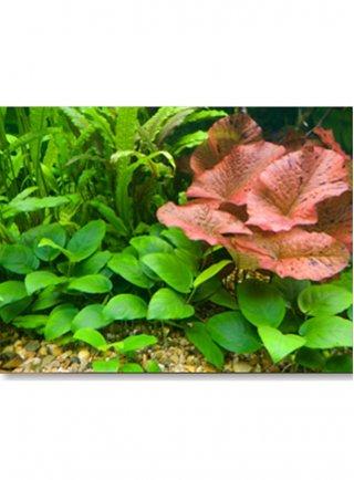 Assortimento biotopo amazzonico set da 30 a 50 litri 6 piante
