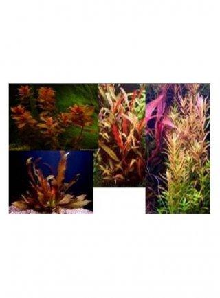 Assortimento le rosse (3 piante)
