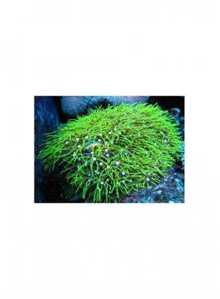 Pachycavularia sp. Green