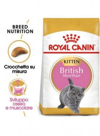 British Shorthair Kitten Royal Canin