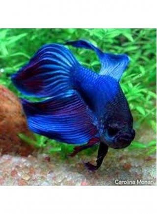 Betta Speldens xlg Pesce Combattente maschio Colori Assortiti n. 1 Esemplare