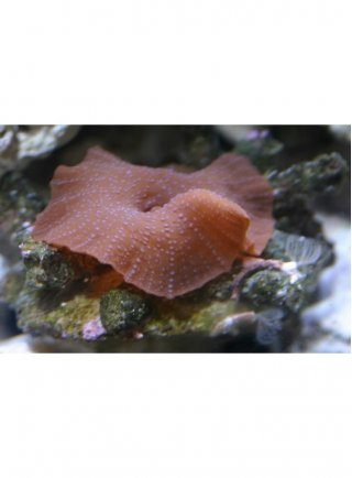 ACTINODISCUS THICKN SPOTTED