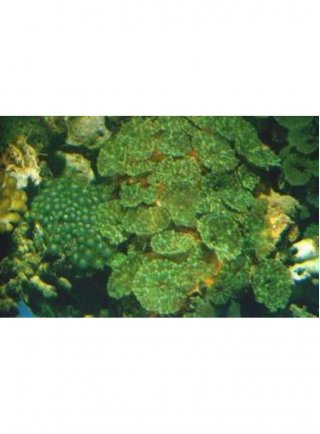 ACTINODISCUS SP. GREEN