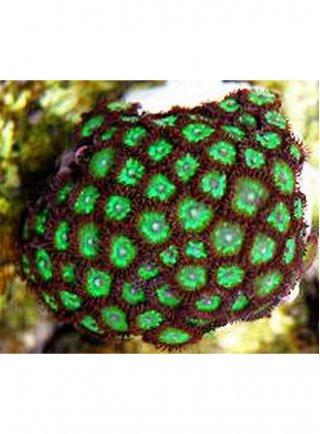 Zoanthus sp Green
