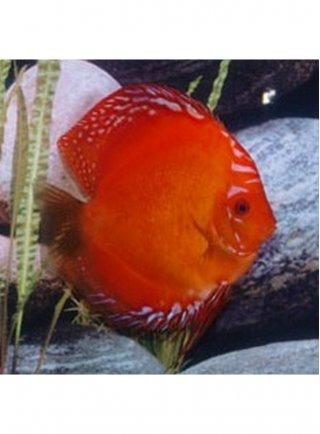 Discus Marlboro Red 6,5 cm n. 1 Esemplare