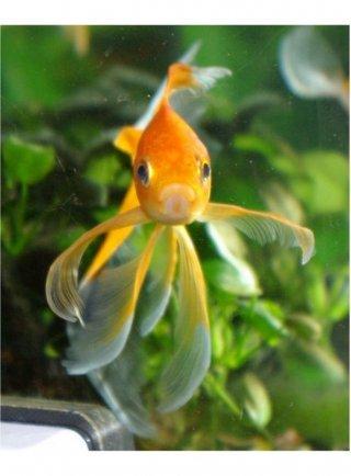 Pesce rosso cometa 5-7 cm