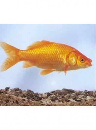 Pesce Rosso  5-7 cm n° 10 Esemplari