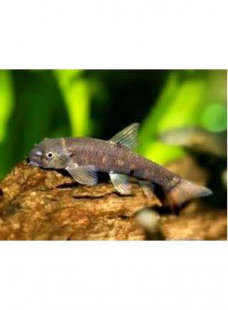 Garra ml (Doctor Fish) n. 6 Esemplari