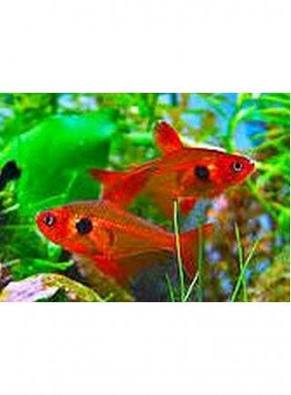Megalamphodus Sweglesi Red xlg n. 6 Esemplari