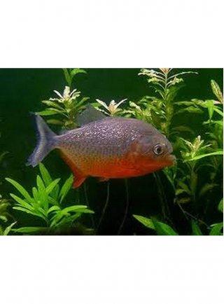 Serrasalmus Nattereri (Piranha) ml n. 4 Esemplari