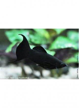 Black Molly lg n. 6 Esemplari