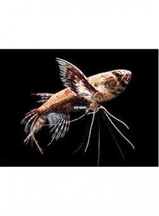 Pantodon Buchholzi lg Pesce Farfalla n. 2 Esemplari