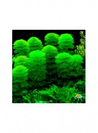 Cabomba assortimento 3 piante