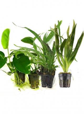 Assortimento 3 piante acquario ciclidi africani