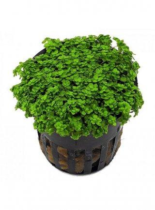 Hemianthus Cralicoides assortimento 3 piante