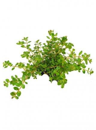 Rotala Rotundifolia assortimento 3 pz