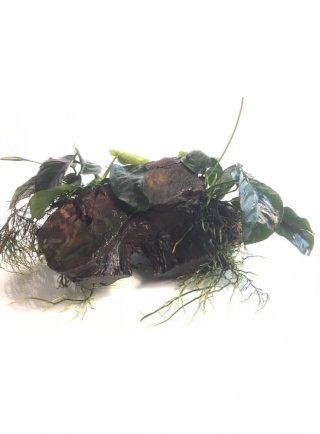 Tronco con due Anubias (cod.X12) 26x18xH15 cm
