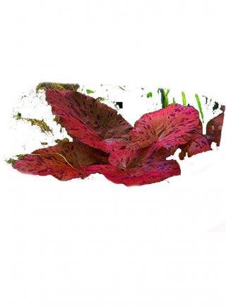 Ninphea Rubra assortimento 3 piante acquario