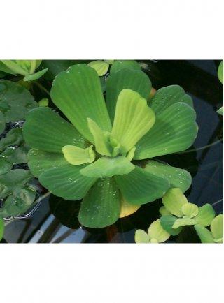 Assortimento 10 mini Pistia stratiotes piante laghetto