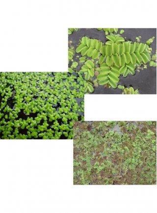 Assortimento mini piante galleggianti